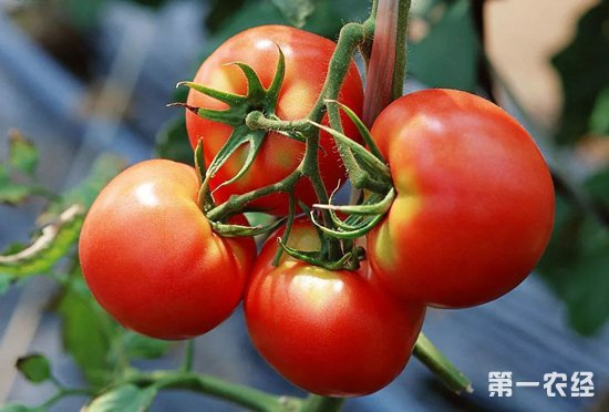 绿色无污染番茄饮品助他们走上脱贫之路