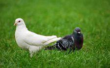 <b>鸽子为什么会产软壳蛋?是什么原因导致的?</b>