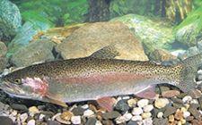 <b>虹鳟鱼常见的病害都有哪些?我们要如何防治?</b>