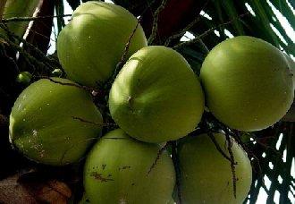 椰子要怎么种?椰子的种植技术