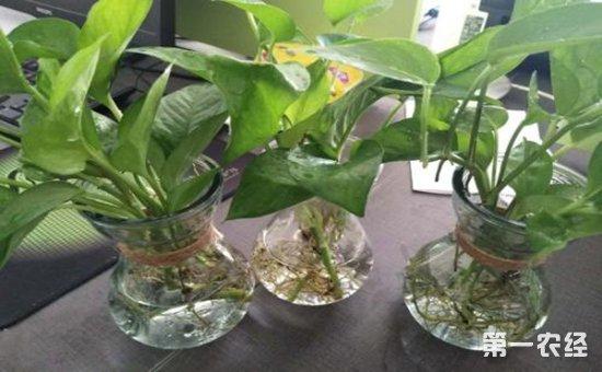 在养护植物的时候,特别是水培植物,经常会出现烂根的现象,令热爱养花的朋友烦不胜烦,那么这些烂根的主要原因是怎么出现的?怎么做才能解决植物的烂根现象呢?下面,小编就为大家解析一下植物出现烂根的原因,和它的解决办法:   植物出现烂根的很大一部分原因是因为营养液。营养液的质量直接影响了植物的根部,如果营养液的质量不佳,营养液中含有其它物质,是会导致营养液变质的,一旦营养液出现了变质,那植物烂根只是早晚的问题。   营养液浓度过高会烧坏植物的根部,导致烂根的情况。所以我们一般水培植物的时候,不要加入浓度过高的营养液,也不要让植物根部全部浸在营养夜里,根部全都浸在营养夜里会让植物根部缺少氧气,让植物烂根。   发现水培的植物出现烂根的情况后该怎么办呢?   一旦发现烂根,第一件事就是将植物捞出,用清水轻轻的清洗,将腐烂掉的根部清洗干净,方便我们看清哪些根腐烂掉,哪些根部还是良好的。然后将植物腐烂的根部修剪掉。   将种植植物的容器清洗干净,然后换上新的水,等植物重新找出了新的根就可以用一些营养液了。还有朋友问花花,家里的自来水可以直接用吗,不可以哦,自来水里含有一定的氯气,我们最好将自来水暴晒个两天以后使用哟。   水培植物要比土培植物更加需要耐心和细心哦,平时尽量将养殖的水温控制在18-25度,如果不是必要阳光照射的话,最好还是将他们放在阴凉通风的地方。有条件的朋友们也可以在水里加入一些可以改善水质的物质,比如小木炭之类的,能够有防腐的作用哦。   综上所述,朋友在养花的时候,如果是土培植物,切忌浇水太多,水培植物,则要注意施肥。肥料虽然好,但是施肥太多,植物吸收不了,反而会出现适得其反的效果。想要了解更多植物的养护知识,关注第一农经网,为您解答疑难。