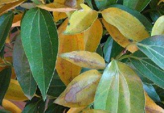 平安树叶子发黄怎么办?平安树叶子发黄的解决办法