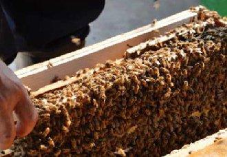 蜜蜂怎么养?蜜蜂的养殖技术