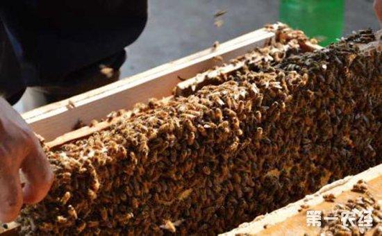 """蜜蜂养殖是现代段比较主流的一种养殖模式,因为需求蜜蜂的人多了,蜜蜂的养殖市场也随之应运而生,但是对许多刚刚接触蜜蜂养殖业的朋友而言,养殖蜜蜂最主要的,是先求稳,再求效益!那么蜜蜂养殖需要注意些什么?下面小编就为各位养殖户介绍一些基本的注意事项,希望能给养殖户朋友们带来一些参考。   1、养殖场地   养殖蜜蜂肯定需要有地方放置蜂箱,如果养殖数量较多的话,场地面积还需要扩大。放置蜂箱的场地选择也是有一定要求的,人工养殖的话选择一个好的养殖场地是必需工作。场地不仅要地势高,防止夏季出现洪水现象,还要能够有效的进行遮阴,并且场地周围要有充足干净的水源及蜜源供给蜜蜂采集,要远离城区、工厂等嘈杂吵闹的地方。   2、饲料充足   不管养殖什么东西,饲料都是缺一不可的,饲料是保证生长的关键。蜜蜂当然也是一样,蜜蜂的饲料想必大家都知道,它的饲料就是各种花朵的花粉,还有自己生产的蜂蜜。饲料充足的情况下,蜜蜂才能正常工作,生产出质量好的蜂蜜,时刻观察,发现饲料不足的时候,一定要人工补料。   3、选好蜂种   蜂种的选择是比较重要的,各个地区都有不同的蜂种,在选种的时候肯定需要选择能够适应本地环境的本地蜂种。而且很多人分不清楚蜂种,有时候会出现混养的情况,例如蜜蜂、意蜂还有许多杂蜂混合在一起,导致蜂蜜极其不纯,影响经济利益,造成不必要的损失。   蜜蜂 养殖 方法   4、蜂多于脾   这个养殖蜜蜂的人应该都知道,养蜂的时候一定要保证脾的数量绝对不能多于蜜蜂,私自加脾对蜜蜂的生长采蜜是极其不利的。通常加脾的时候是当幼工蜂较多时,因为幼工蜂出生后会大量的分泌蜂蜡增加蜂巢中脾的数量。其余时间都尽量不去管,脾过多的话会造成蜜蜂贪脾,贪脾会导致蜜蜂活力下降,增加蜜蜂的发病率。   5、防治天敌   蜜蜂养殖一段时间后,在蜂箱底部通常都会出现巢虫,巢虫是蜜蜂的天敌,蜜蜂完全无法抵抗。蜜蜂是一种""""喜新厌旧""""的动物,我们要定期清理蜂箱,巢脾太老也容易出现巢虫,要及时更换巢脾。蜜蜂的天敌还有胡蜂,在养殖过程中要防止胡蜂攻击蜜蜂,了解各种疾病,蜜蜂生病时要对症下药,切记不可盲目治疗。   现在正好是秋季,蜜蜂都在采蜜维持过冬需要的蜜源,而养蜂人此时的工作,就是准备过冬蜜蜂的代用饲料,以及做好越冬蜂的培养工作,免得到了明年开春,蜜蜂越冬蜂数量少,蜂群发展不起来,就变成了弱群了。想要了解更多蜜蜂的养殖技术,关注第一农经网,为您解答疑难。"""