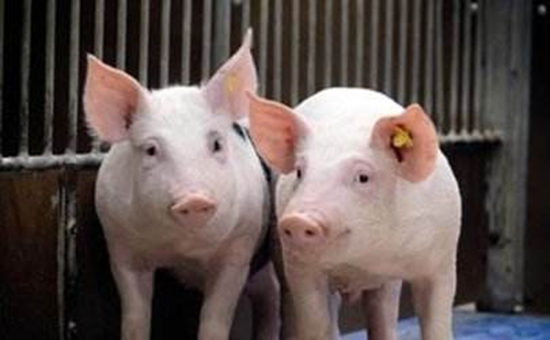 养猪最新福利有哪些?八项福利散养户也有份