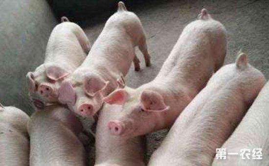 动物 猪 550_340