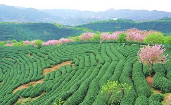 机械解放双手?农业农村部加快推进果菜茶生产机械化