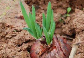 <b>洋葱怎么种?洋葱的种植技术</b>