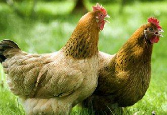 海南农垦携手辽宁禾丰,将把文昌鸡打造成世界品牌