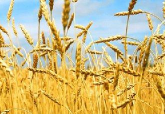 <b>种植冬小麦要注意什么?种植冬小麦的注意事项</b>