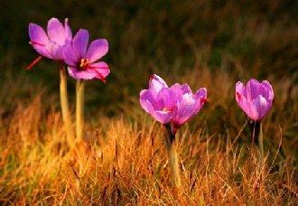 藏红花怎么种?藏红花的种植技术