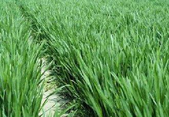 小麦旺长会造成哪些影响?小麦旺长的危害