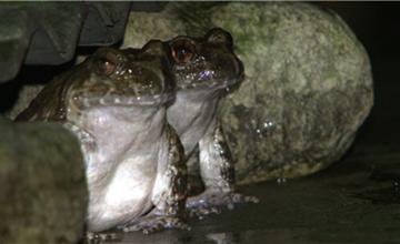 石蛙的澳门永利娱乐网址前景怎么样?我们该怎么澳门永利娱乐网址石蛙?