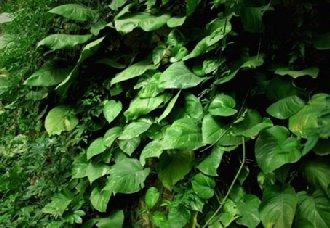 常青藤要怎么种?常青藤的种植技术