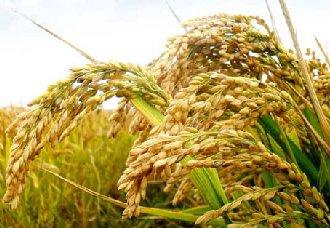 53.2亩的试验稻田实行零农药种植