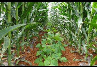 玉米地套种带动村民多渠道增收致富