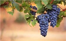 波尔多液和波尔多葡萄不得不说的关系