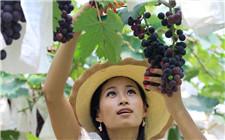 葡萄酒的葡萄什么时候采摘?如何采摘