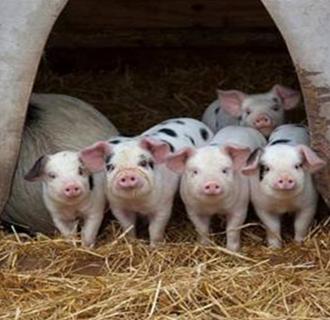 """北京:举办""""吉土猪""""猪肉品鉴会"""