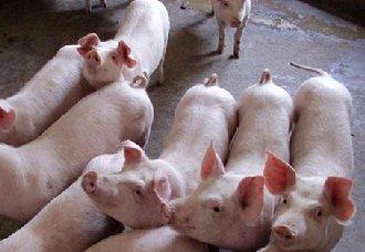 <b>10月过后各省市猪价都出现回涨模式,都有哪些因素造成?</b>