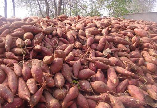 天津南开区:爱心人士伸出援手让滞销红薯销售一空