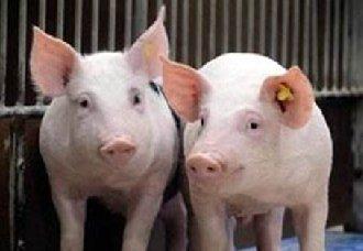 猪有气喘病要怎么诊断?又要怎么预防猪气喘病的发生?
