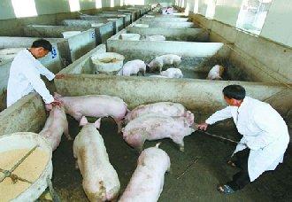 要怎么给猪进行注射?有哪些注射方法?