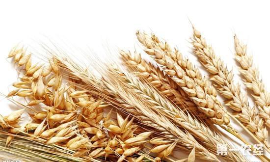 河北邯郸小麦:价格保持坚挺,优质麦相对稀缺