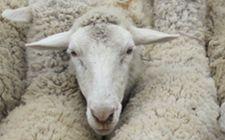 <b>在农村养羊中常见的误区有哪些?这五种最常见</b>
