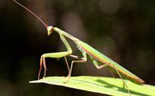 <b>要怎么养殖螳螂?螳螂的养殖技术分享</b>