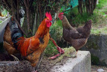 <b>冬季饲养肉鸡,饲养管理要怎么做?饲养管理技术分享</b>