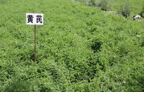 新疆奇台县:中草药种植带动当地农民增收