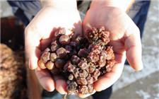这种高档葡萄酒居然是用发霉的葡萄酿造的