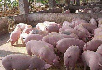 广东珠海惊现多头猪死亡与出现可疑病毒现象,或是非洲猪瘟?