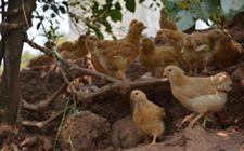 <b>产蛋鸡舍设备要怎么清洗以及消毒?具体方法介绍</b>