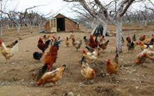 生态鸡在育雏期时饲养管理要怎么做?有什么注意事项?