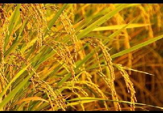 """水稻田""""减肥""""""""减药""""产量反而增长了4%"""