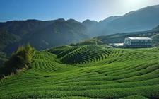 <b>福建福安:一个茶叶重镇的求强之路</b>