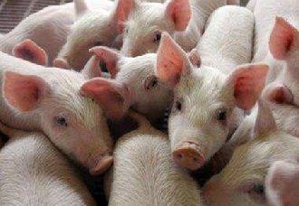 <b>猪出现甲状腺肿大要怎么办?要怎么预防治疗?</b>