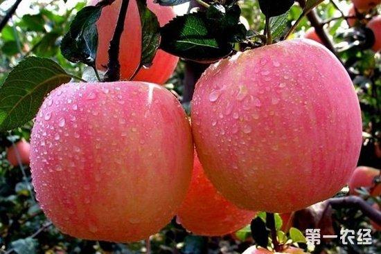 今年苹果价格这么高,果农是不是赚翻了?