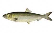 鲱鱼要怎么养殖才好?鲱鱼的养殖技术分享