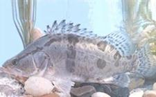 鳜鱼要怎么养殖?鳜鱼的人工养殖方法介绍