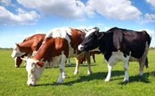 养殖奶牛过程中会遇到哪些麻烦?主要就这四点