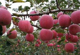 红富士苹果树开花少的原因以及解决方法