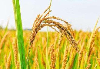 虾青素米--世界首例功能营养型水稻种质