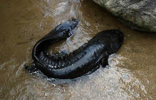 <b>四川龙华古:地下室养娃娃鱼,一年收入十几万</b>