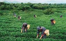 浙江岭洋:打造特色茶叶小镇 做大做强深山茶产业