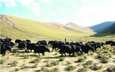 青海大力发展生态畜牧合作社 已实现牧区全覆盖