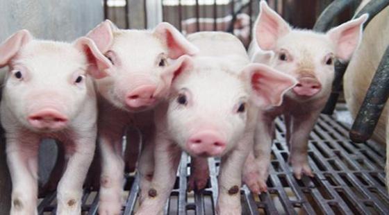 山西大同:排查出非洲猪瘟疫情 当地已启动应急处置措施