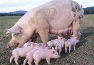 <b>母猪要高产有哪些诀窍?养猪户要记下以下多个技巧</b>